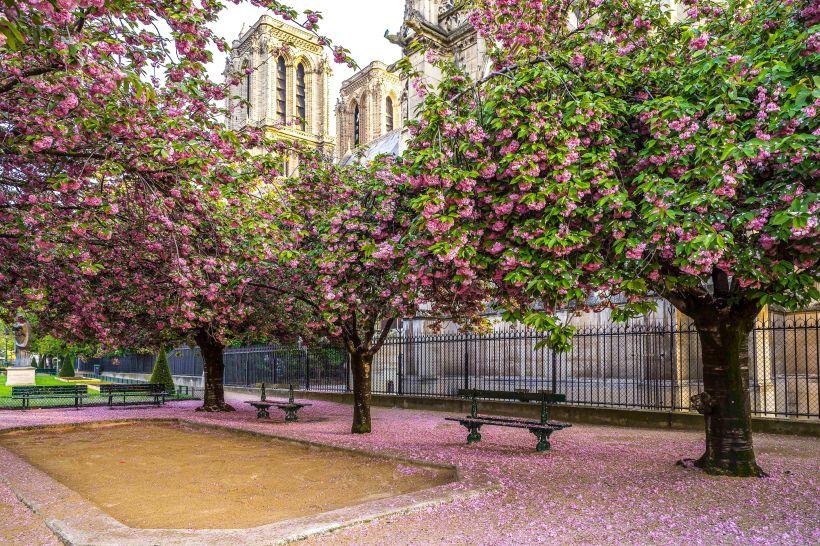 Notre-Dame : petal pool